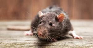 Nager im Haus: Wie erkennt man einen Mäuse- oder Rattenbefall?
