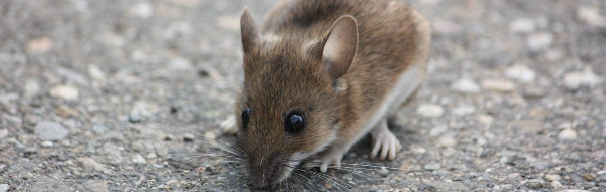Mäusebekämpfung für Nordbayern