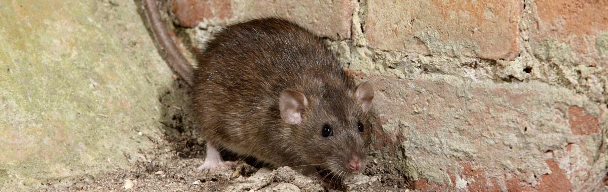 Rattenbekämpfung für Nordbayern