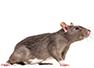 Preventa Rattenbekämpfung